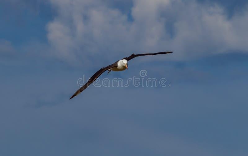 Dirigiendo derecho en la cámara, el albatros cejudo negro se eleva arriba en el cielo imagenes de archivo