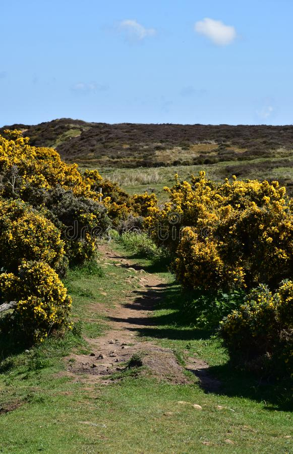 Dirt Footpath with Yellow Flowering Gorse Bushes Blooming. Coast to Coast dirt footpath with yellow flowering gorse bushes in bloom stock photography