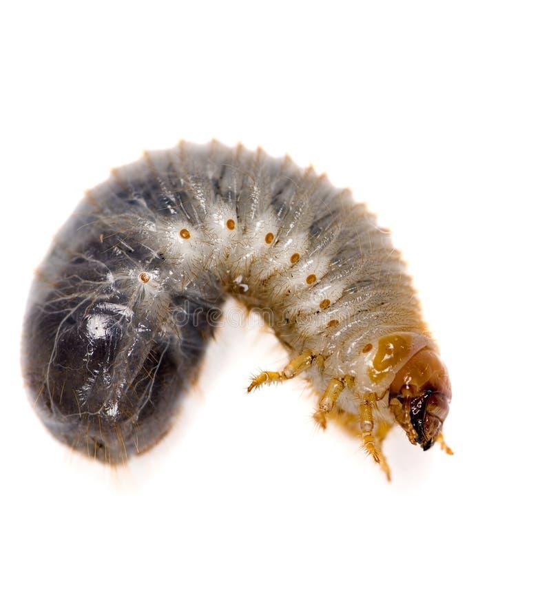 Download Dirt Grub stock image. Image of macro, larva, dirt, bait - 1872535