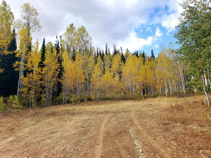 A dirt path leading into the picture with aspen trees changing colors. Pine, pines, evergreens, direction stock image