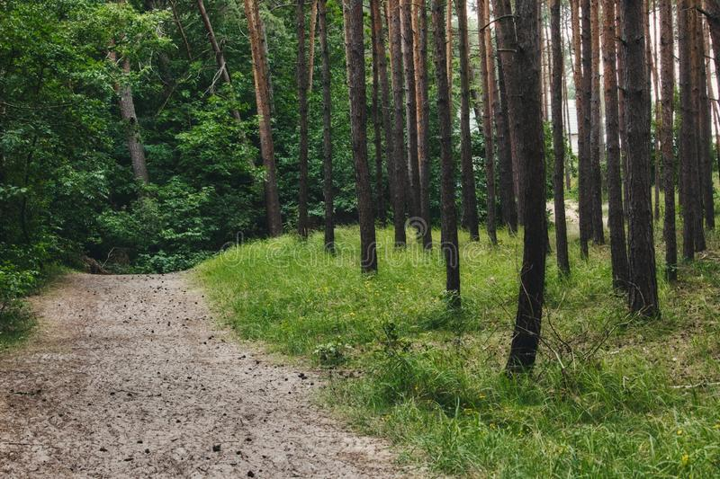A dirt path leading through the trees in a forest. A dirt path leading through the trees in a pine tree forest stock image