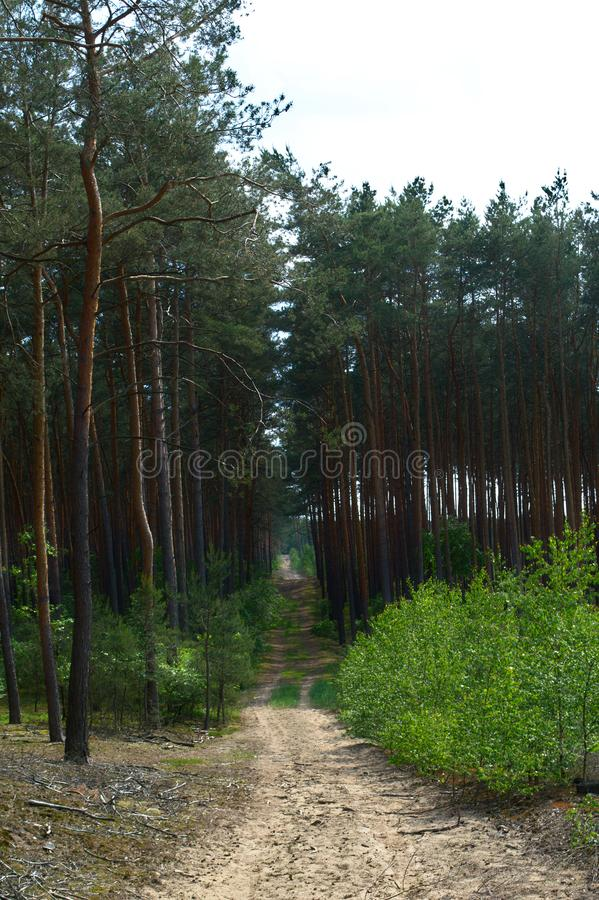 Empty dirt path in a pine forest royalty free stock photography