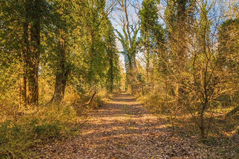 Dirt path through pine forest. Dirt path through the pine forest stock photography