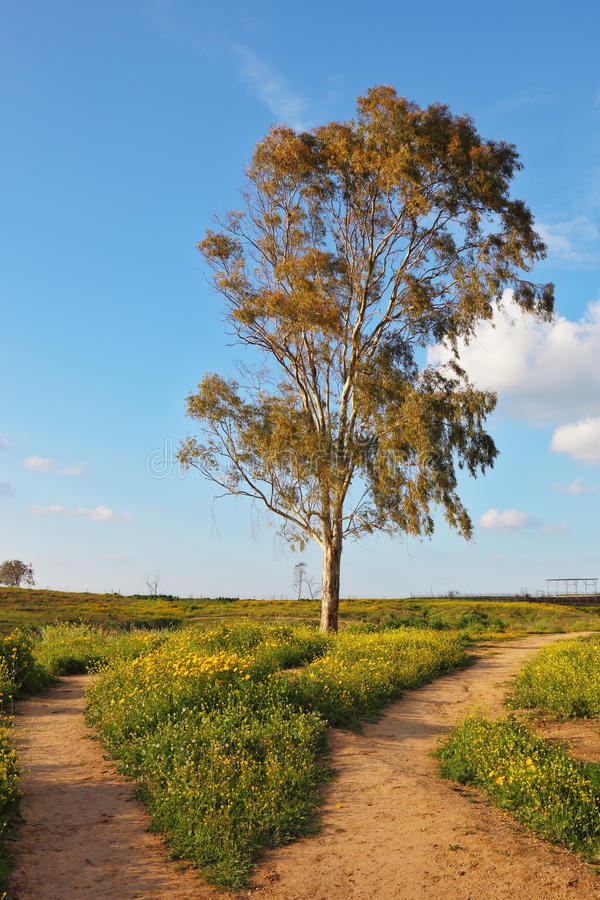 The dirt road forks around a lone tree. Among the daisies. Scenic cumulus clouds. Sunset stock photography