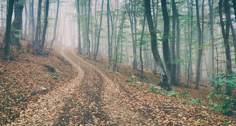 Dirt road in the magic and foggy morning beech forest. No people royalty free stock images