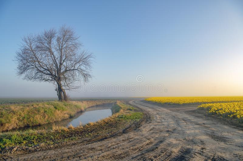 Dirt roads and daffodil fields. Daffodil fields , dirt roads and lone trees on a foggy morning stock image