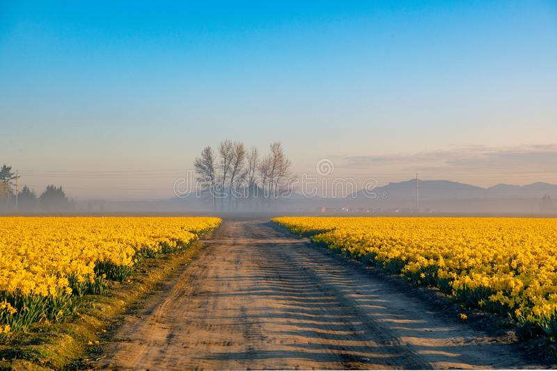 Dirt roads and daffodil fields. Daffodil fields , dirt roads and lone trees on a foggy morning royalty free stock images