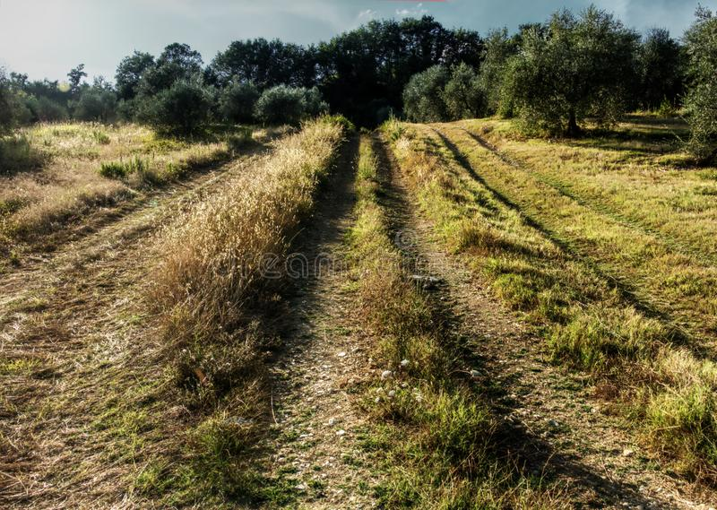 Dirt track in the Tuscan countryside. A meadow between olive groves shows the ruts of occasional farm vehicles lit in the sunrise royalty free stock photos