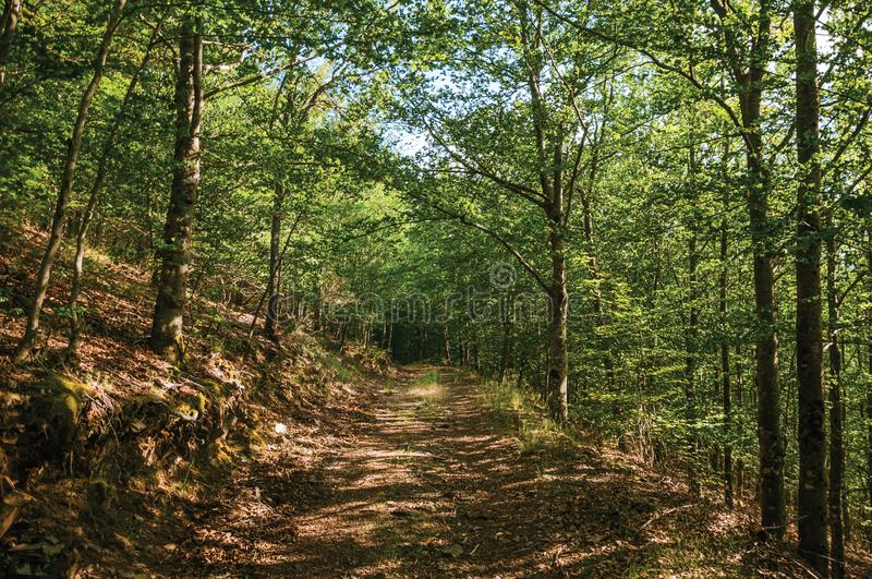 Dirt trail passing through green leafy beech forest. In a sunny day at the highlands of Serra da Estrela. The highest mountain range in continental Portugal royalty free stock images