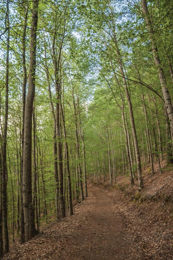 Dirt trail passing through green leafy beech forest. In a sunny day at the highlands of Serra da Estrela. The highest mountain range in continental Portugal royalty free stock photos