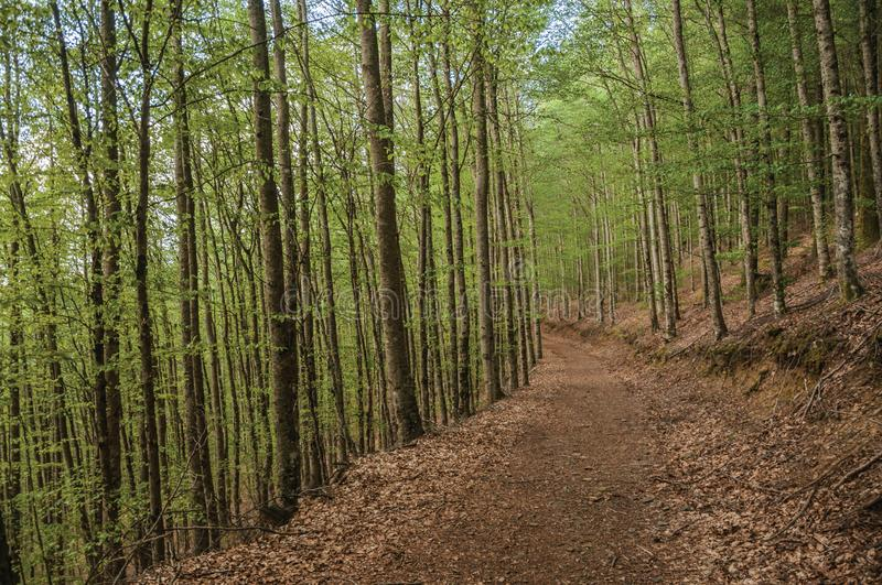 Dirt trail passing through green leafy beech forest. In a sunny day at the highlands of Serra da Estrela. The highest mountain range in continental Portugal royalty free stock photography