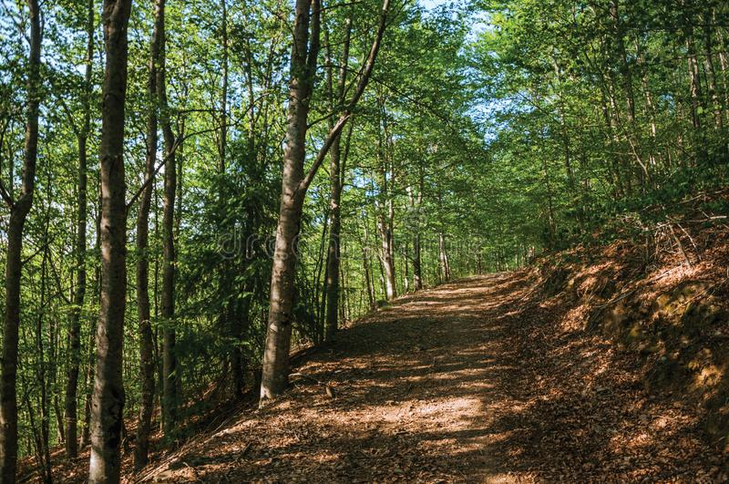 Dirt trail passing through green leafy beech forest. In a sunny day at the highlands of Serra da Estrela. The highest mountain range in continental Portugal stock images