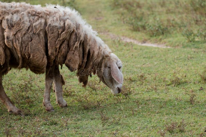 Dirty and brown sheep walking on green field in farm. I royalty free stock photos