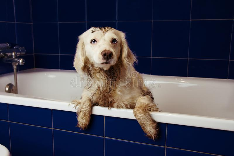 DIRTY DOG BATHING. TERRIER PUPPY ON BLUE BATHTUB WITH PAWS HANGING OVER EDGE.  royalty free stock image