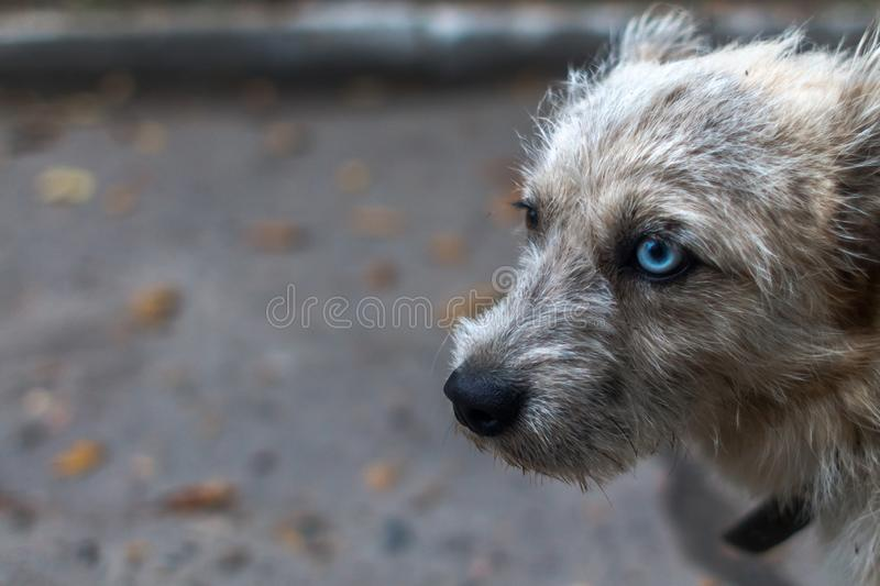 Dirty dog with a collar and eyes of different colors. stock photo