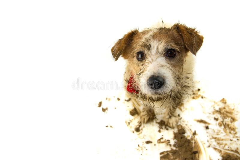DIRTY DOG ISOLATED. FUNNY JACK RUSSELL AFTER PLAY IN A MUD PUDDLE. STUDIO SHOT ON WHITE BACKGROUND.  royalty free stock photo