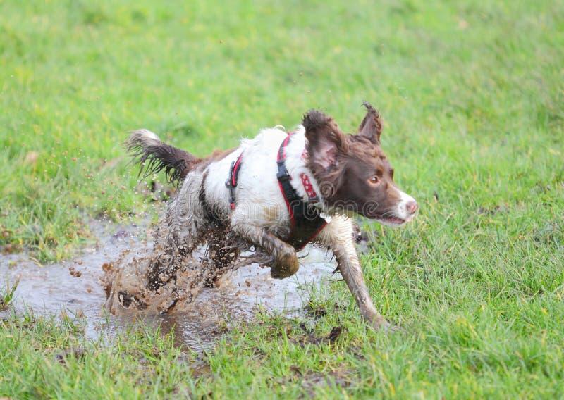 Dirty dog jumping royalty free stock photos