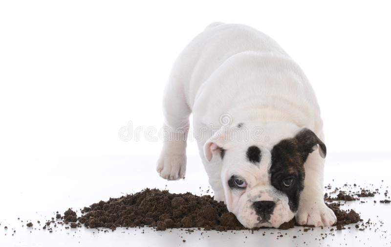 Dirty dog in the mud stock images