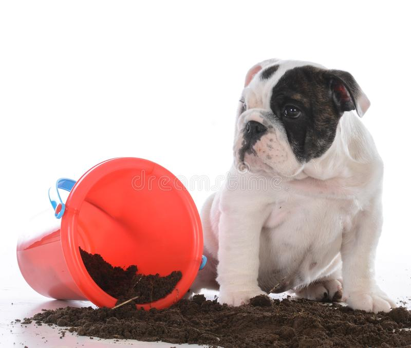 Dirty dog in the mud royalty free stock photo