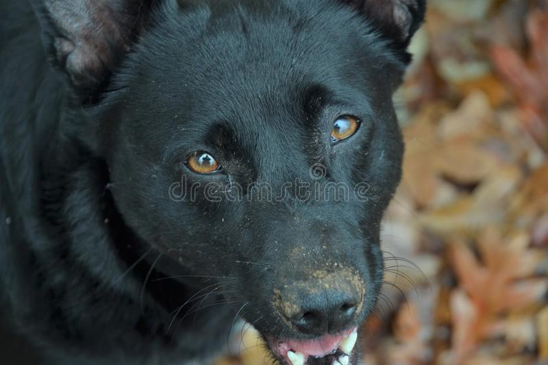 Dirty Dog Nose royalty free stock images