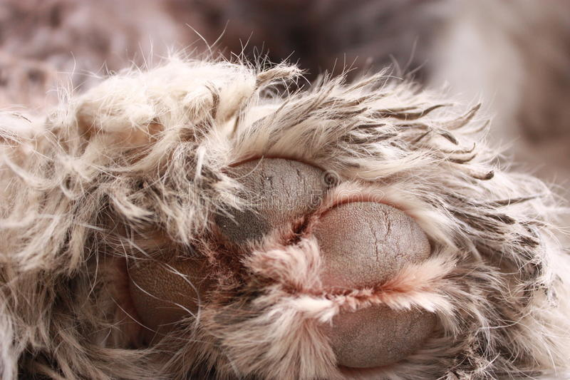 Dirty dog paw royalty free stock photo
