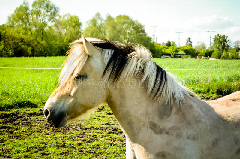 Dirty fjord horse portrait in nature royalty free stock image