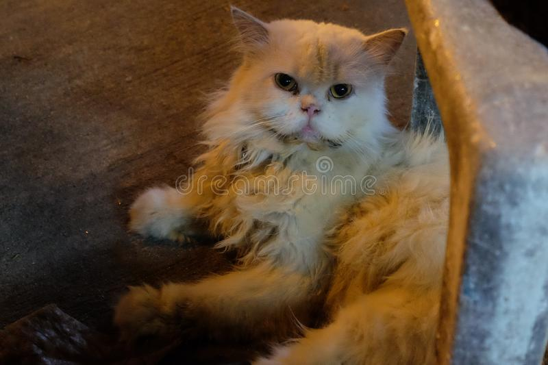A dirty fluffy cat lies. Cat suffering from Down syndrome.  stock photography
