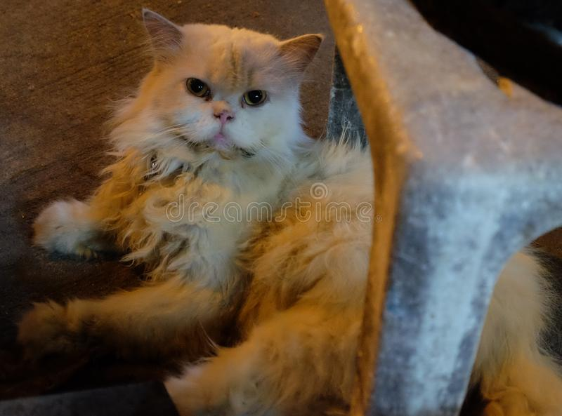 A dirty fluffy cat lies. Cat suffering from Down syndrome.  royalty free stock photo