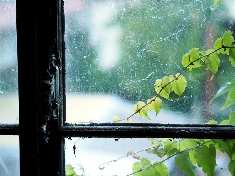 Dirty glass windows with antique window handle in old attic space. Close up focus view of ruined old window with cobweb. ivy plant royalty free stock images