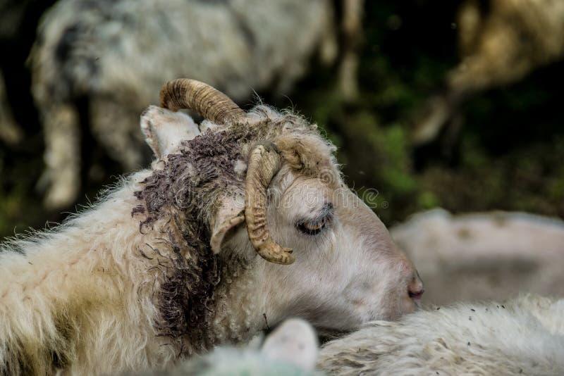 Dirty horned sheep in a herd. Dirty horned white sheep in a herd. Pen in Ukrainian farm, Carpathian Mountains stock photo