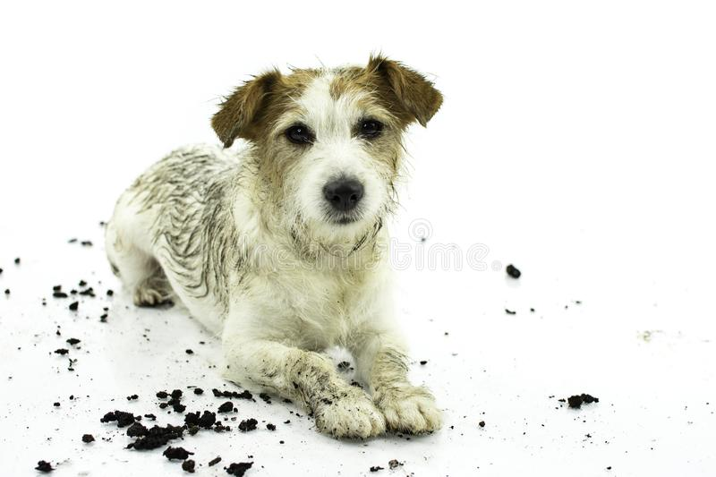 DIRTY JACK RUSSELL DOG LYING DOWN AFTER PLAY IN A MUD PUDDLE ISO. LATED ON WHITE BACKGROUND. STUDIO SHOT. COPY SPACE royalty free stock photography