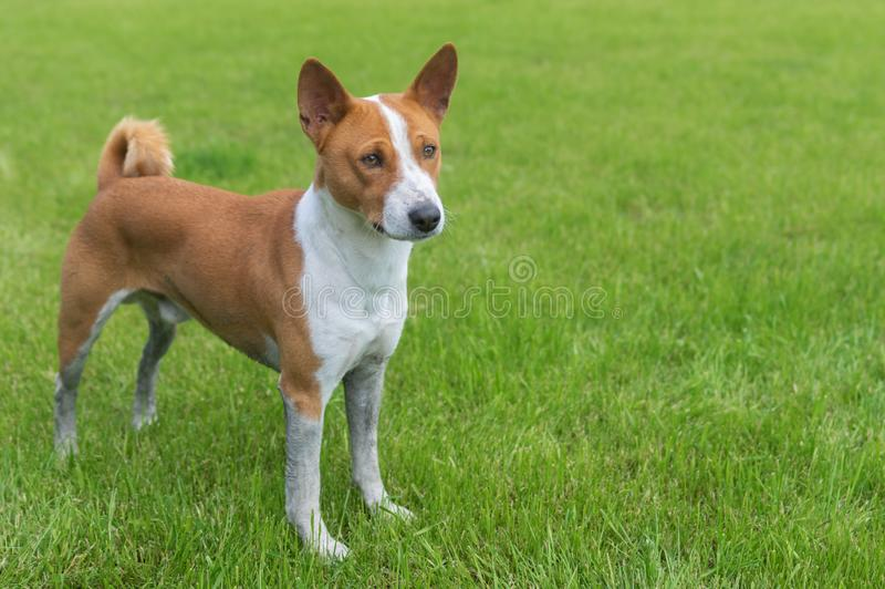 Dirty mature basenji dog standing on a fresh lawn royalty free stock photos