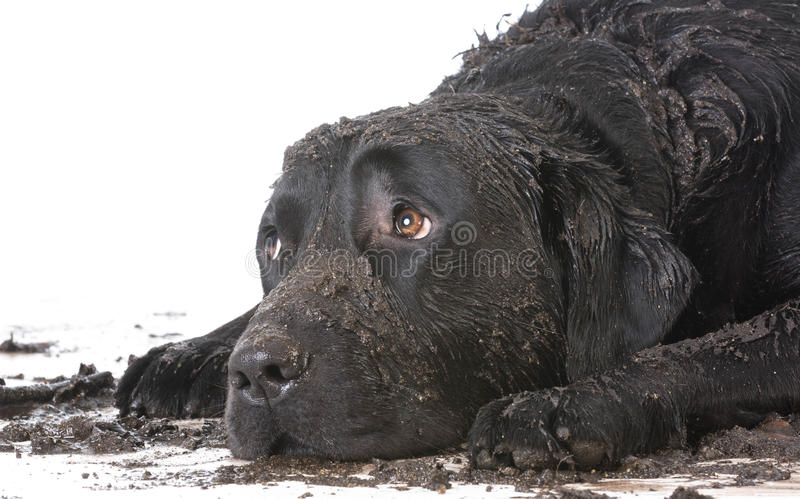 Dirty muddy dog. Laying down with sad expression stock photos