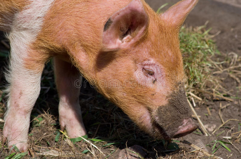 Download Dirty pigs muzzle stock image. Image of barn, mammal - 27690673