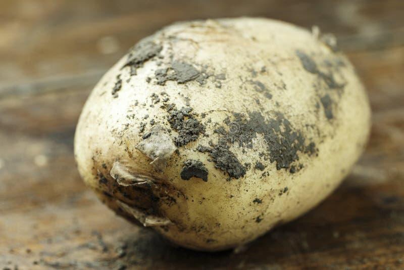 Dirty potatoes close-up stock photo