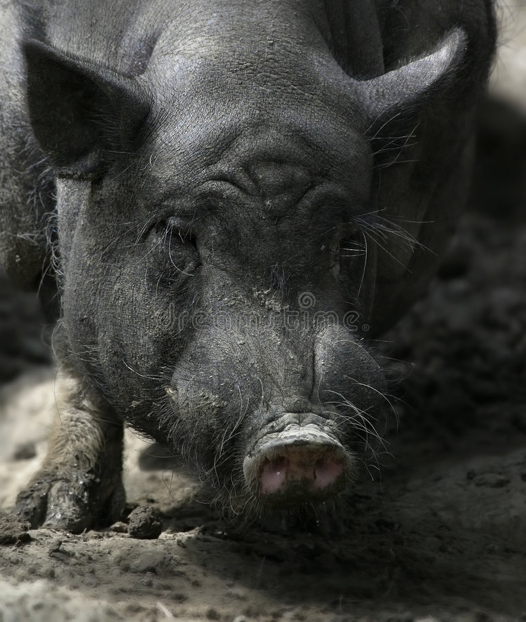 Dirty Swine 1. Portrait of a very crappy domestic swine royalty free stock images