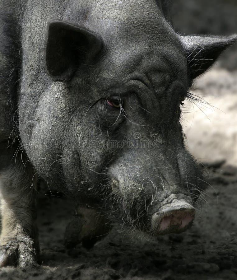 Dirty Swine 2. Portrait of a very crappy domestic swine royalty free stock photos