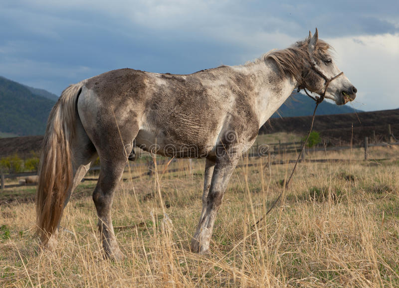 Dirty White Horse Royalty Free Stock Image