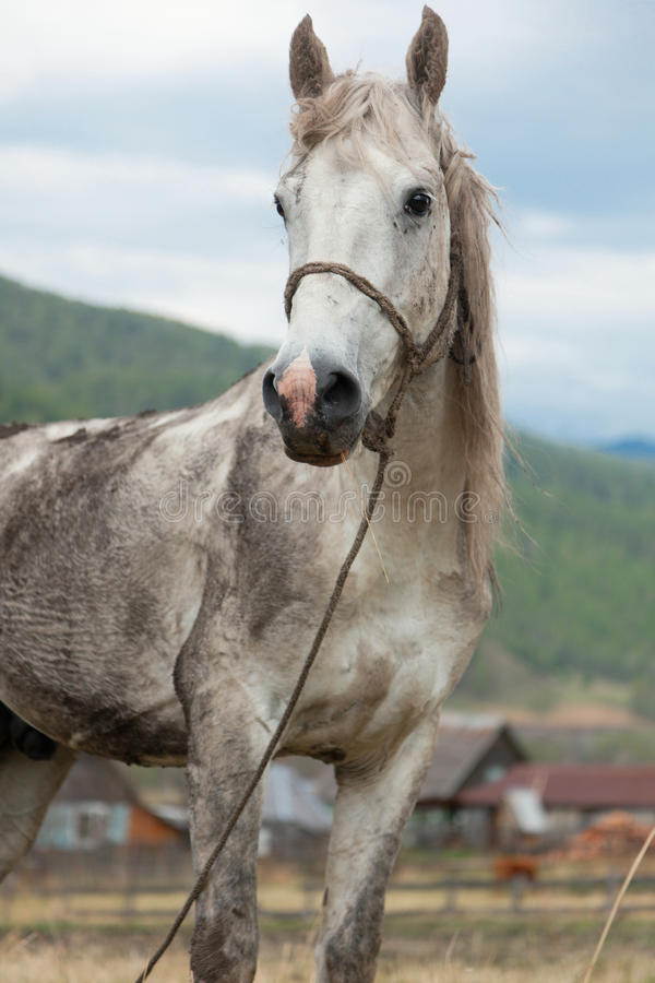 Download Dirty white horse sta stock image. Image of cowboy, cute - 27265147