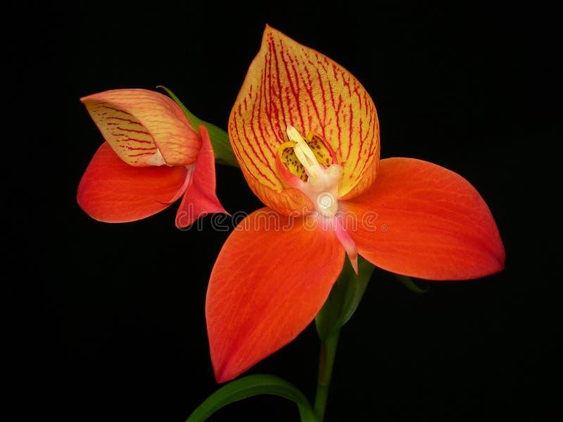 disa-orchiduniflora fotografering för bildbyråer