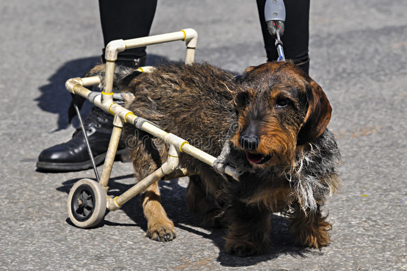 Disable dog in a wheelchair on the street royalty free stock photography