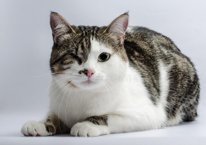 Disabled animals portrait of a one-eyed cat stock photos