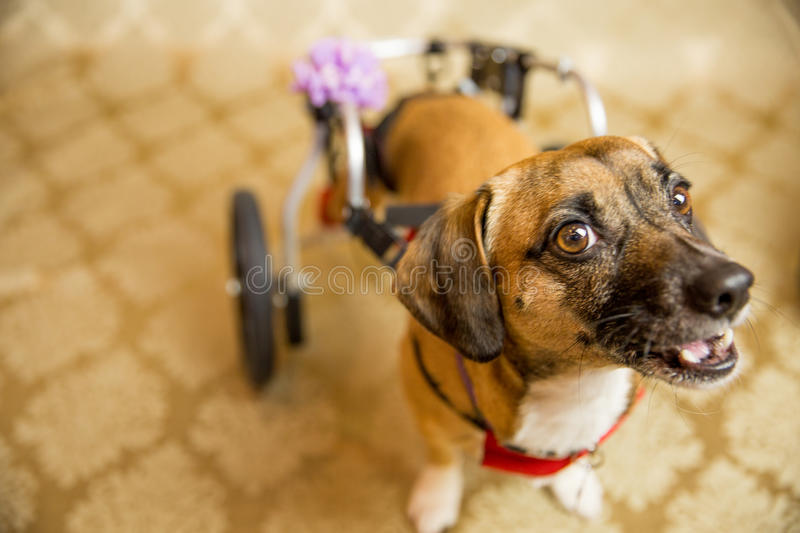 Disabled Chihuahua Portrait. Photograph of a small dog in an animal rescue shelter stock images