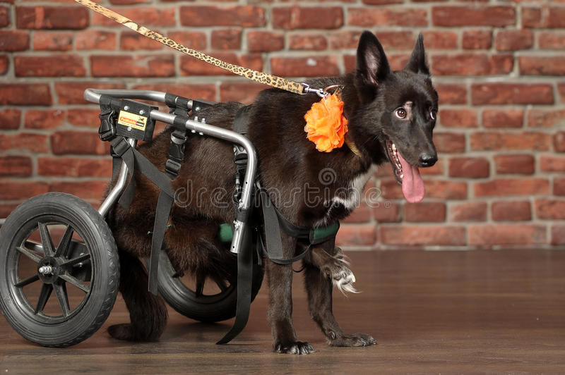 Disabled dog. Dog in a special wheelchair for animals stock photography