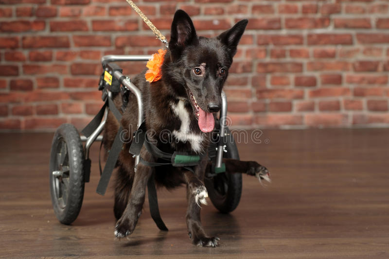 Disabled dog. Dog in a special wheelchair for animals royalty free stock photography