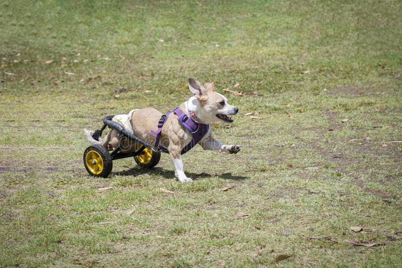 Disabled dog playing royalty free stock photo