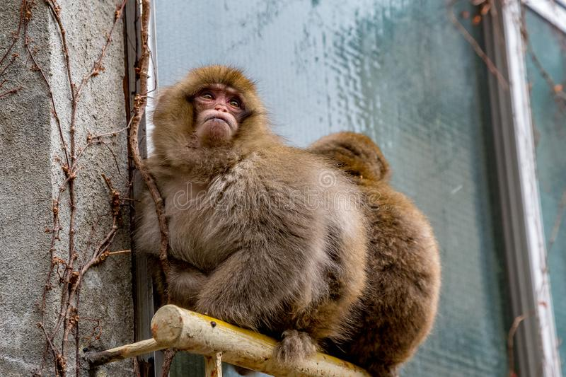 Disabled monkey on a window railing. A pair of snow monkeys sit on a window railing outside a Japanese inn in Yamanouchi, Nagano. The front monkey has no legs stock photos