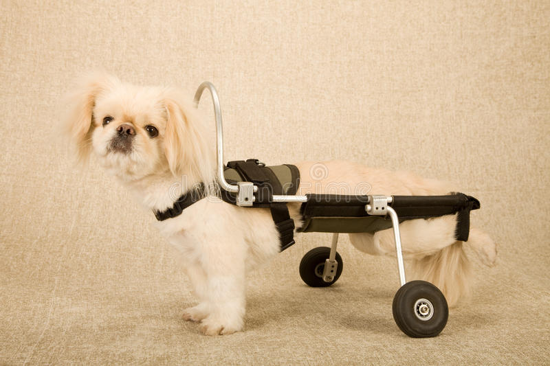 Disabled paralysed puppy dog strapped into canine disability cart wheelchair on beige background. Puppy dog strapped into canine disability cart wheelchair on royalty free stock photography