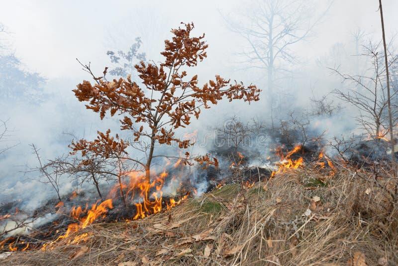 Ogień w dębowym lesie zdjęcia royalty free
