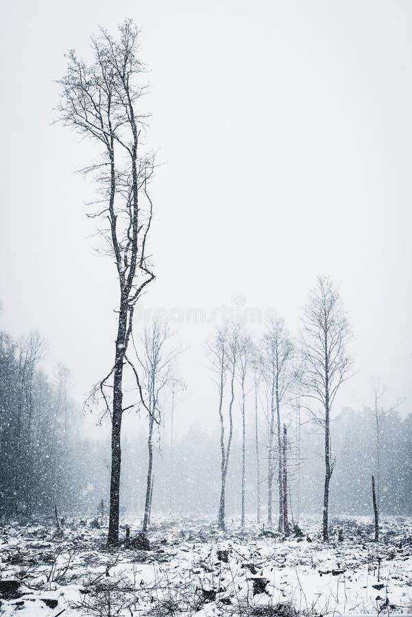 Disboscamento nella foresta nevosa di inverno immagine stock